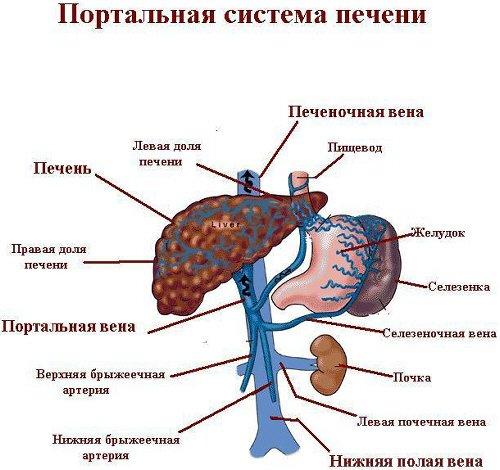 Фиброз печени :: Болезни печени :: Гепатит Ц. Вопросы и ответы.